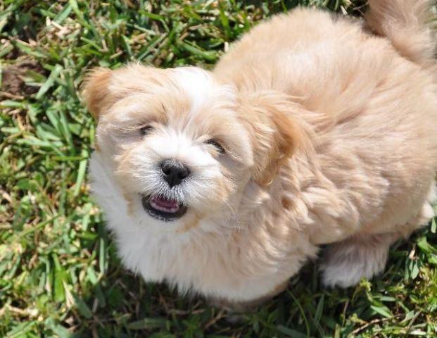 2 Lhasa Apso Puppies!