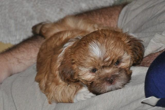 Too Cute! Lhasa Apso Puppy