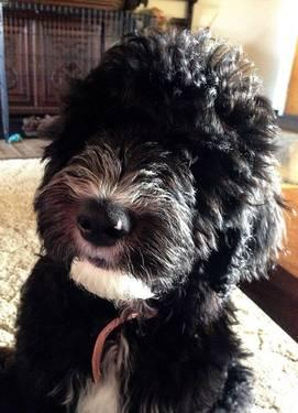 Sheepadoodle Babies Are Here! for Sale in San Francisco, California