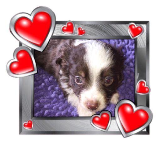 Cute ASDR toy australian shepherd puppy
