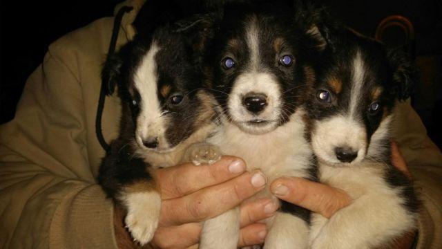 2 Litters of ABORABLE Australian shepherd/Sheltie Puppies! !!