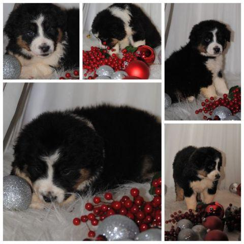 CHRISTMAS PUPPIES: AUSTRALIAN SHEPHERDS