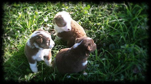 Red Tri Miniature Australian Shepherds