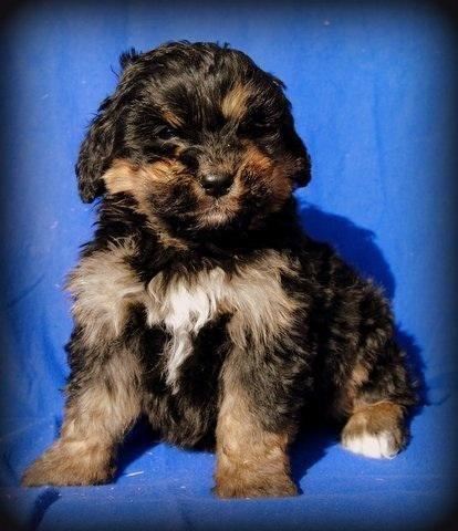 Bernedoodle Puppies Available For Sale In Noblesville