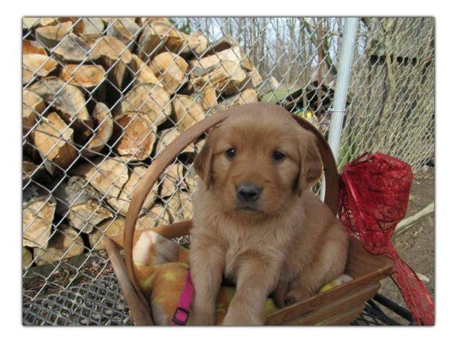 AKC Golden Retriever PUPPIES 2 available ready May 1