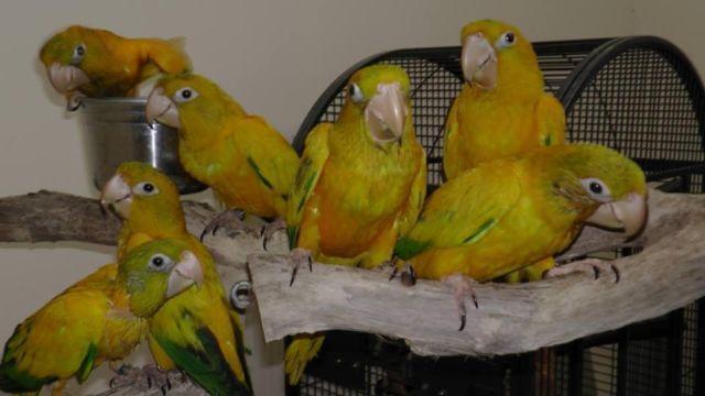 Golden Conure babies