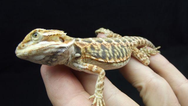 Bearded Dragon Babies for Sale in Ocala, Florida Classified