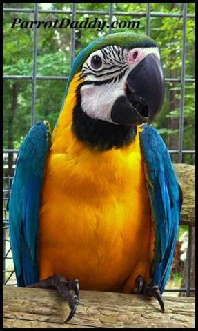Exotic Harlequin Macaw Handfed Babies for Sale