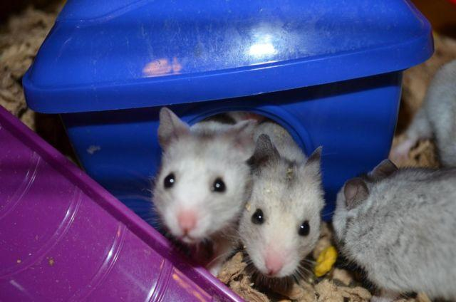 Rare Silver Grey syrian hamster babies Ready for new home!