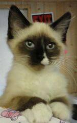 Siamese - Shyla - Medium - Baby - Female - Cat