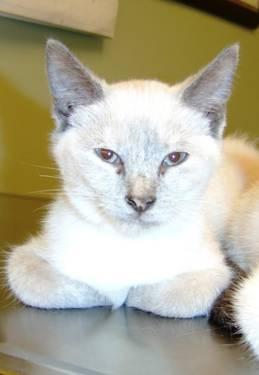 Siamese - Anastasia - Medium - Baby - Female - Cat