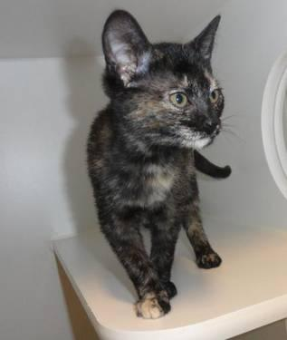 Tortoiseshell - Merrie - Medium - Baby - Female - Cat