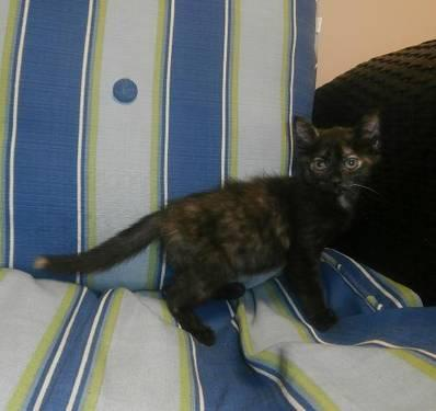 Burmese - Stella - Medium - Baby - Female - Cat