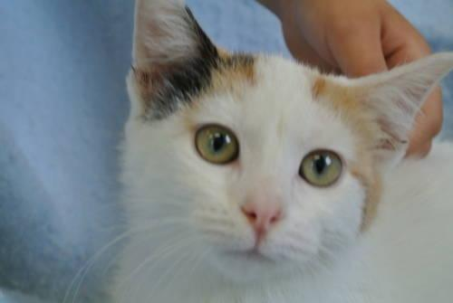 Calico - Muffie - Large - Baby - Female - Cat
