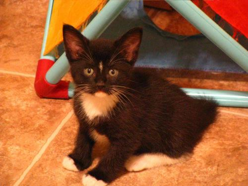 Tuxedo - Tiny - Medium - Baby - Female - Cat