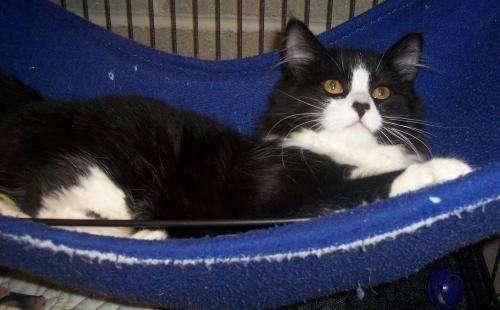 Bobtail - Teddi - Medium - Baby - Female - Cat