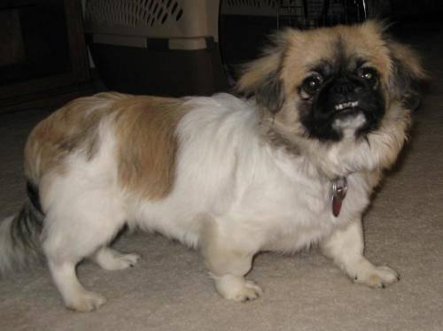 Pekingese - Arianna - Small - Baby - Female - Dog for Sale