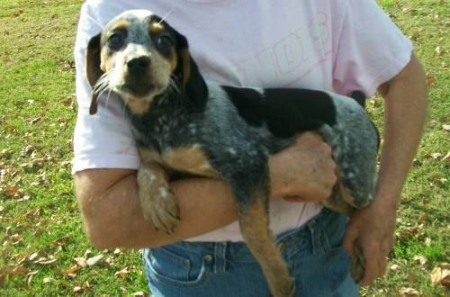 Beagle - Katie - Medium - Baby - Female - Dog