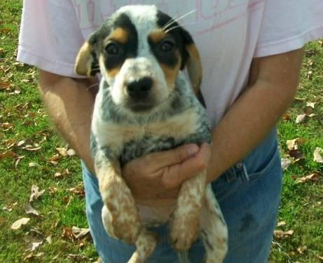 Beagle - Addie - Medium - Baby - Female - Dog
