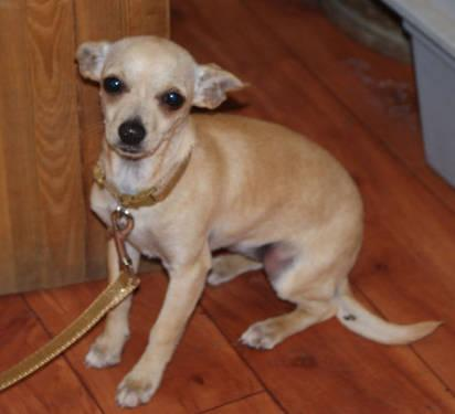 Chihuahua - Sheila - Small - Baby - Female - Dog