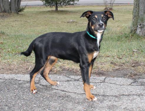 Shepherd - Taylor - Large - Baby - Female - Dog
