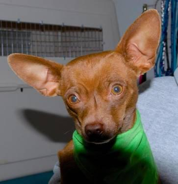 Chihuahua - A588528 - Small - Baby - Female - Dog