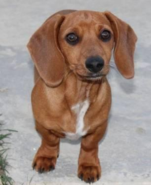Dachshund - Cricket - Small - Baby - Female - Dog