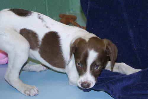 Spaniel - Rush - Medium - Baby - Female - Dog
