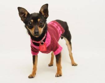 Chihuahua - Java - Small - Baby - Female - Dog