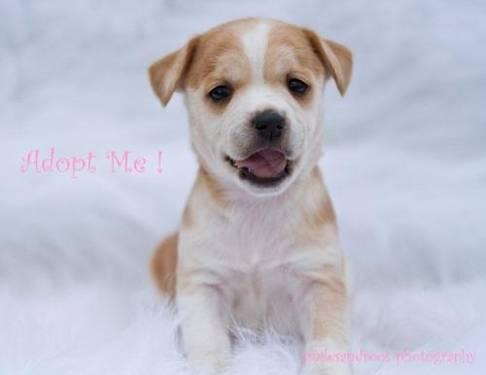 Feist - Ginger - Medium - Baby - Female - Dog