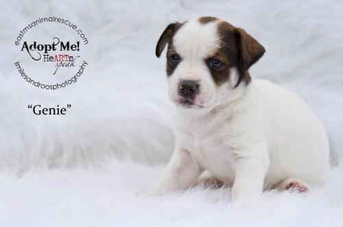 Feist - Cricket - Medium - Baby - Female - Dog