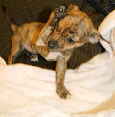 Chihuahua - Brindy - Small - Baby - Female - Dog