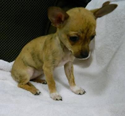 Chihuahua - Angella - Small - Baby - Female - Dog