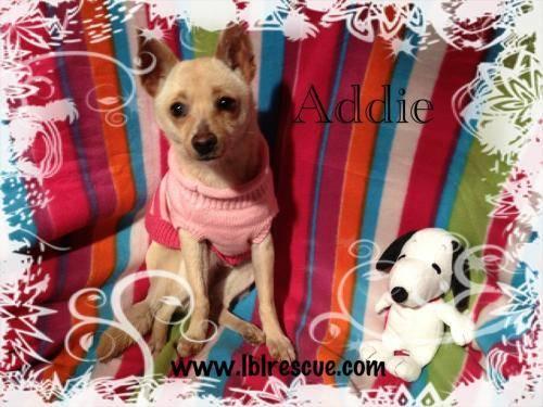 Chihuahua - Tasha - Small - Baby - Female - Dog