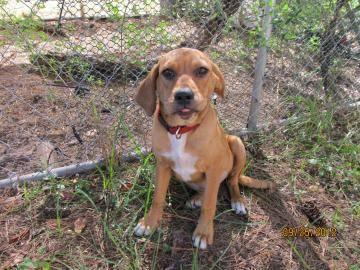 Beagle - Jenna - Medium - Baby - Female - Dog