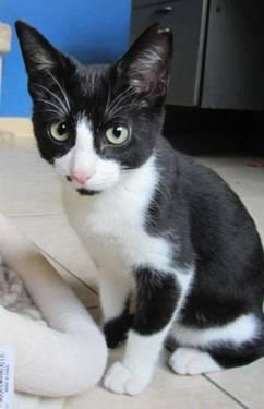 Tuxedo - Domino - Medium - Baby - Male - Cat