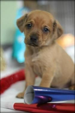 Beagle - Hero - Medium - Baby - Male - Dog