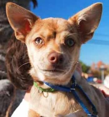 Chihuahua - Chai - Small - Baby - Male - Dog
