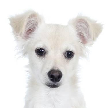 Chihuahua - Buttercup - Small - Baby - Male - Dog