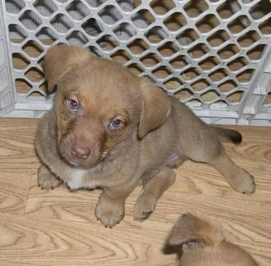 Spaniel - Lamar - Small - Baby - Male - Dog