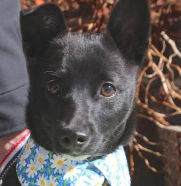 Schipperke - Joey - Small - Baby - Male - Dog