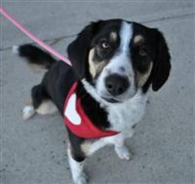Beagle - Josh - Medium - Baby - Male - Dog