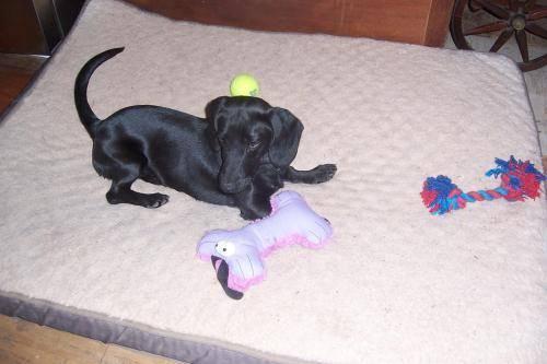 Dachshund - Frankie - Small - Baby - Male - Dog