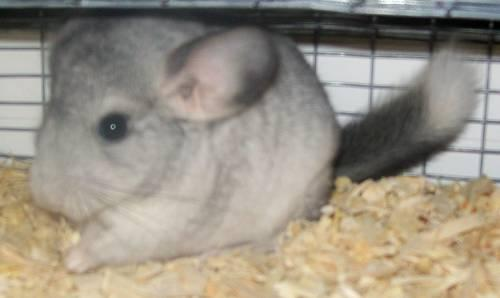 Chinchilla Baby!