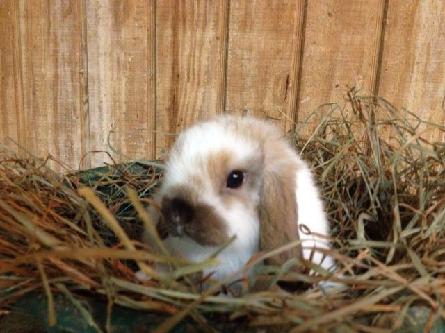 Pedigreed holland lop baby bunnies for Sale in