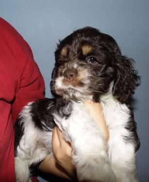 ACA Cocker Spaniel Baby Girl