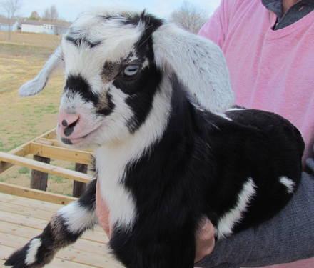 Mini Nubian Bottle Baby Goat for Sale in Caddo Mills, Texas