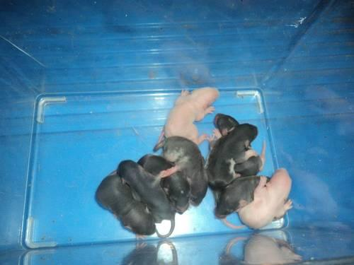 Newest Litter of baby rats!