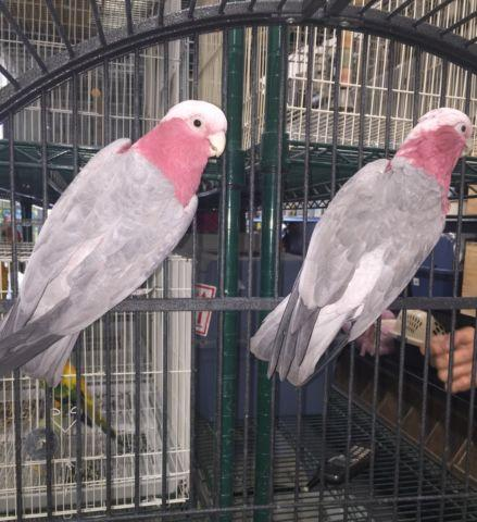 Rosy breasted cockatoo baby's $1350 each
