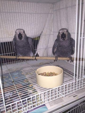 Congo African gray baby's $1500 each